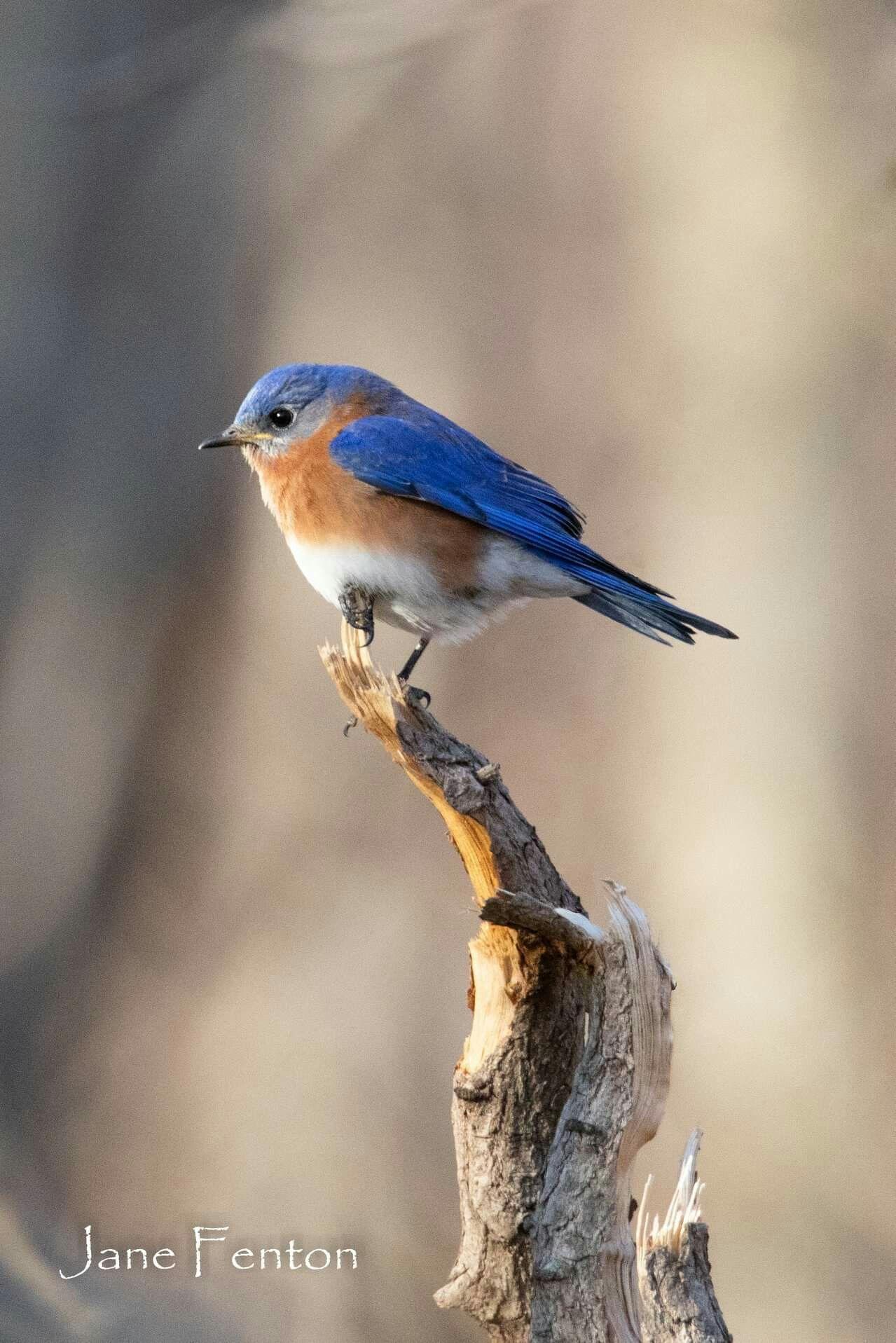 Eastern Bluebird Long Island Blue Bird Eastern Bluebird Birds