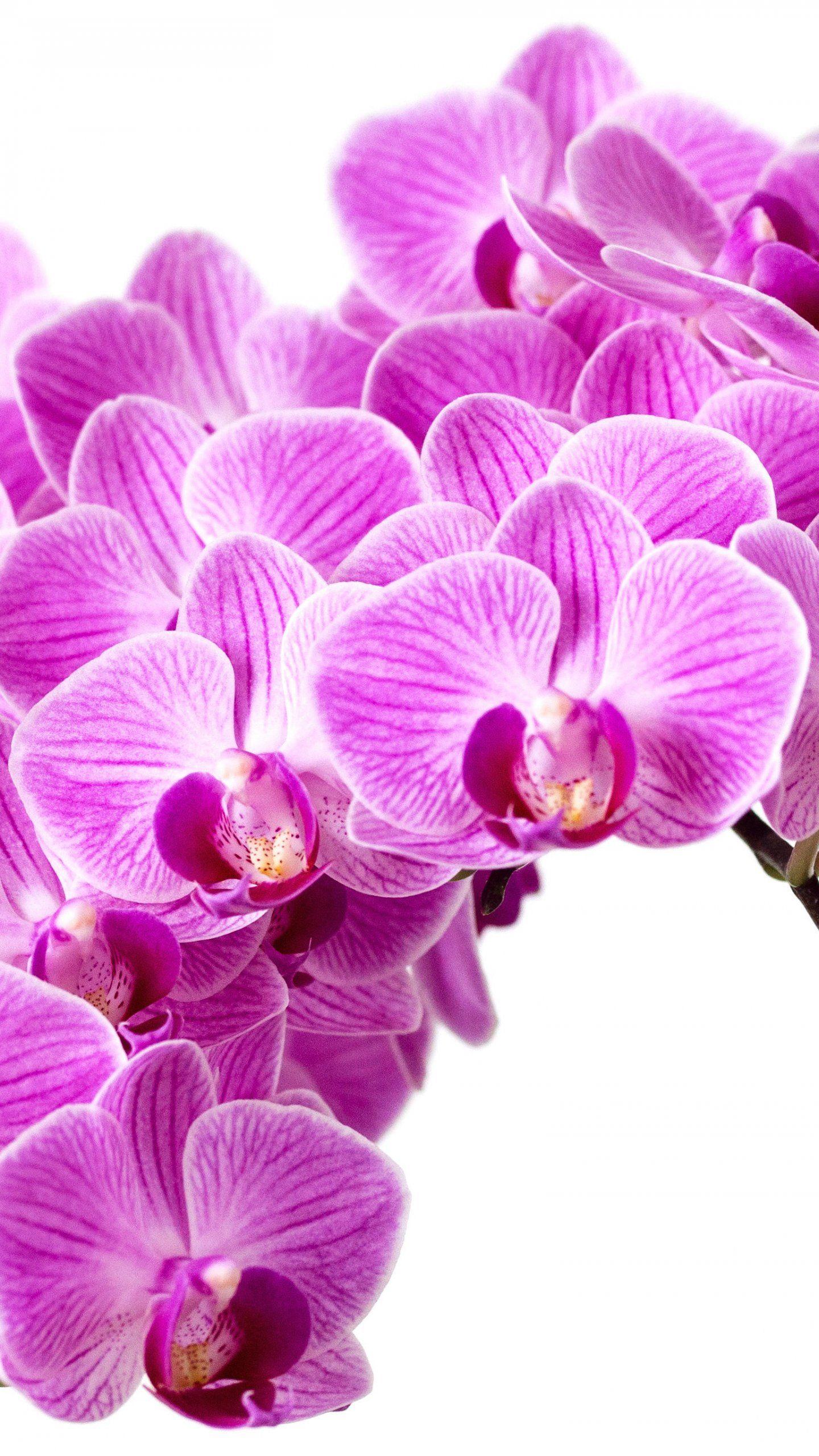 Purple Orchid Wallpaper Iphone Android Desktop Backgrounds Orchid Wallpaper Purple Orchids Flower Wallpaper