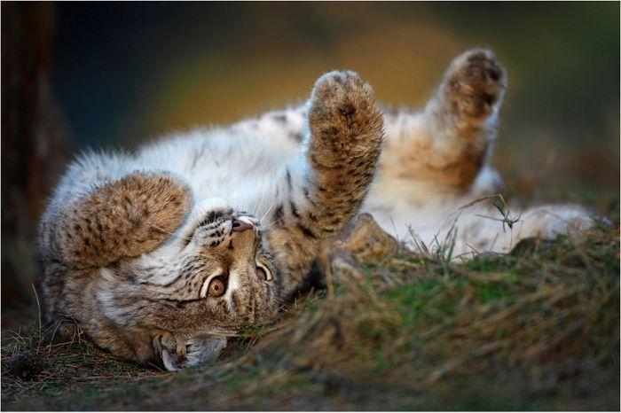 Красивые фотографии дикой природы (45 фото) | Лев картинки