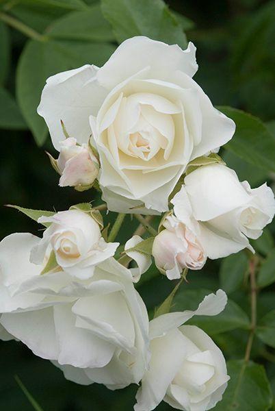 Rosa 'Iceberg ('Korbin')' - rose Iceberg (bush flo
