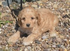 Beautiful Golden Cockapoo Babies Puppies For Sale Cocker Spaniel English Puppies For Sale Puppies For Sale Puppies For Sale Puppies Baby Puppies For Sale