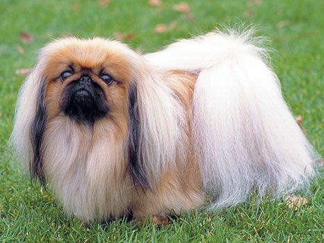 What S The Difference Between Pekingese And Anese Chin Modern Dog Magazine