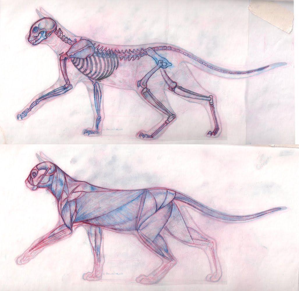 cat muscle anatomy | nekomancer | Pinterest | Muscle anatomy ...