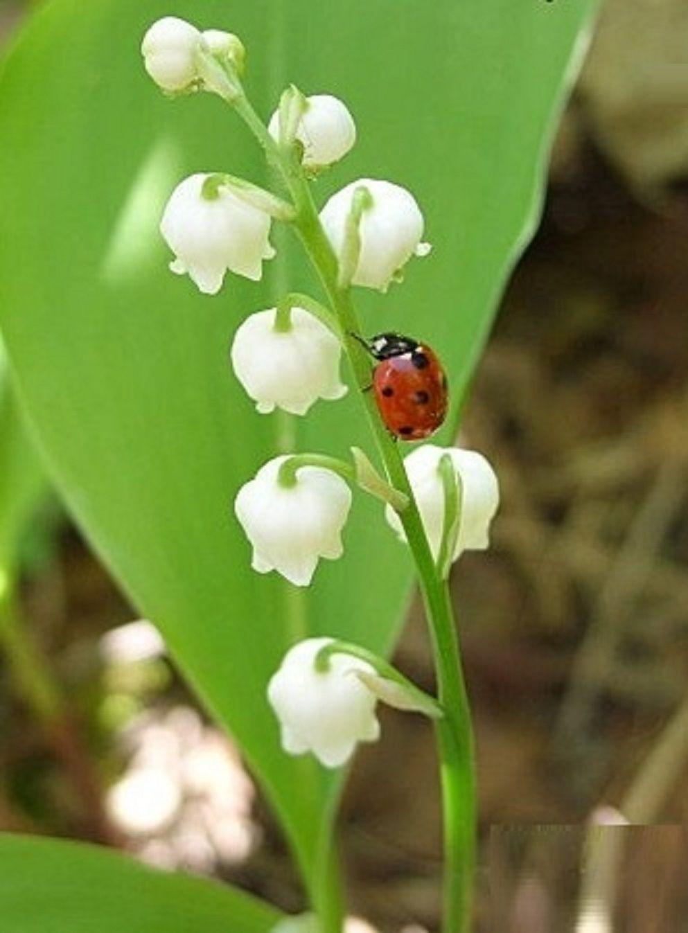 Marienkäfer | Maiglöckchen, Blumen malen, Blumen blüten