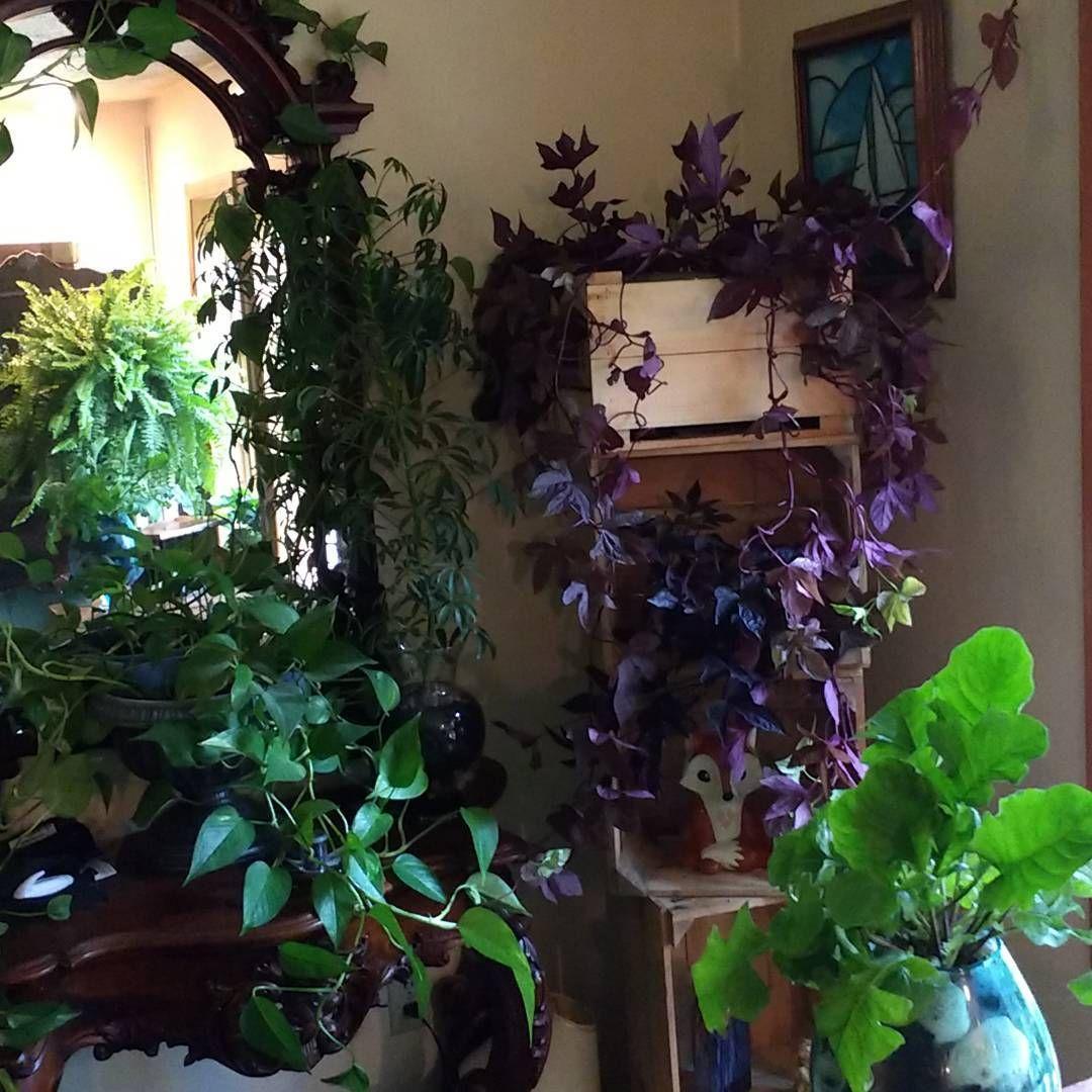 Green Corner With Purple Sweet Potato Vine Ipomoea Batatas