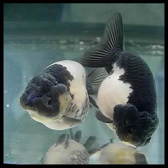 Panda Ranchu Goldfish Aquarium Pet Fish Aquarium Fish