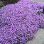 Schnell Wachsende Bodendecker Winterhart #schnellwachsendepflanzen Schnell Wachsende Bodendecker Winterhart #schnellwachsendepflanzen