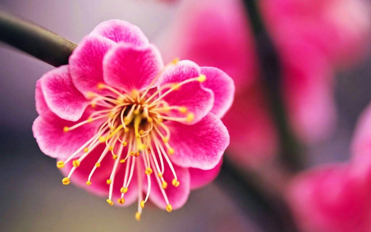 Sakura sakura japan japan pinterest sakura sakura