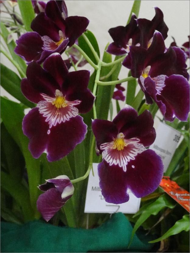 Orquideas Moradas Significado