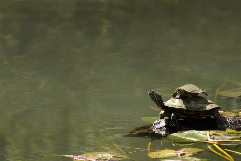 Texas Parks and Wildlife shared Texas Parks and Wildlife - Houston Urban Wildlife's photo.  A young Red-eared Slider hitches a ride. Critter info at http://www.tpwd.state.tx.us/huntwild/wild/species/slider/
