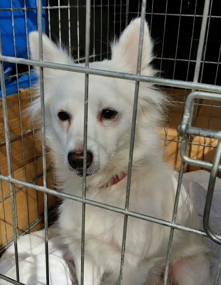 Adopt Koda on American eskimo dog, Dog search, Dogs