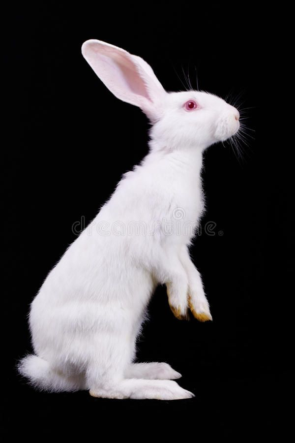 Fluffy white rabbit stock photo. Image of home, wool - 15777104