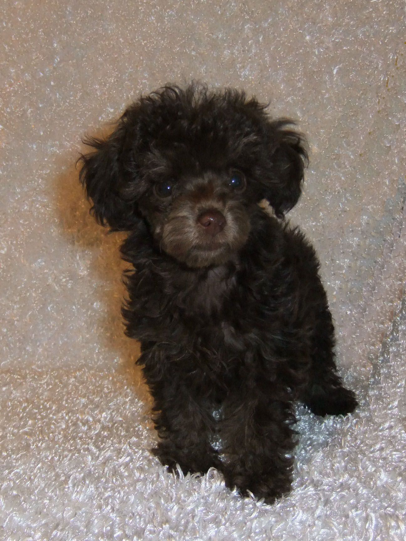 Teacup Poodles Teacup poodle puppies Toy poodle puppies