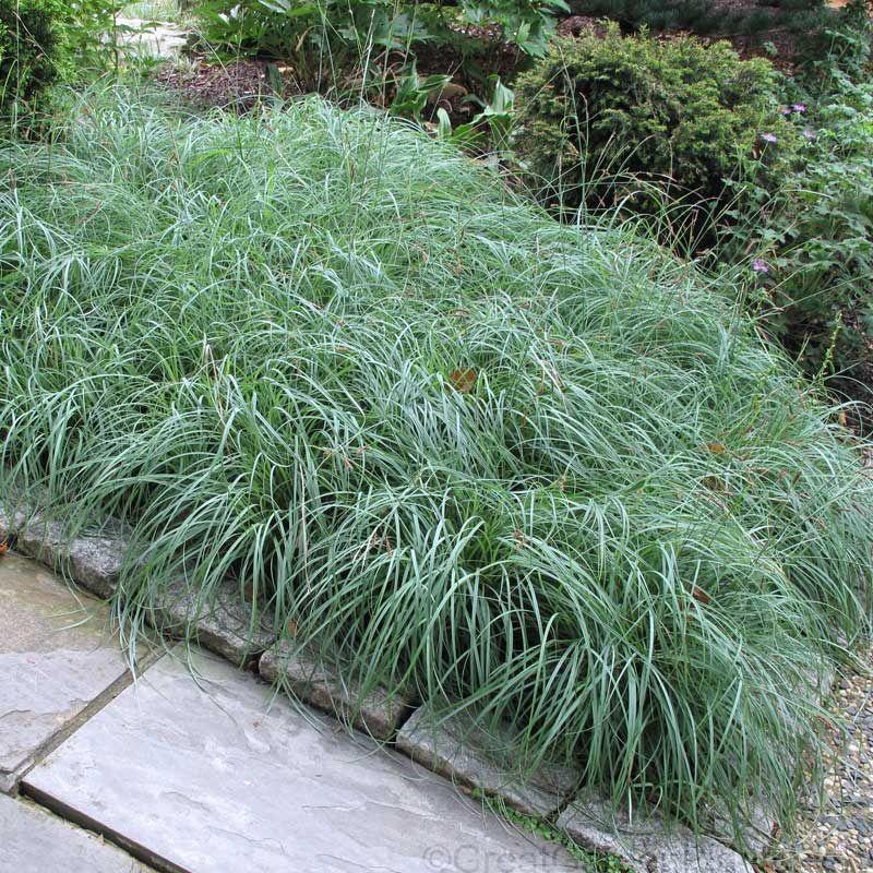 Carex 'Blue Zinger' Groundcovers Shade grass