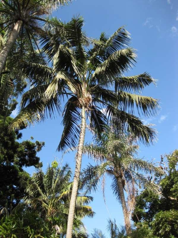 Howea forsteriana | Howea, Kentia palm, Tropical tree