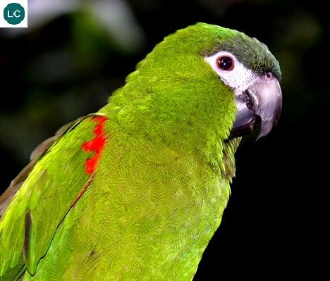 https://www.facebook.com/WonderBirdSpecies/ Red-shouldered macaw (Diopsittaca nobilis); Venezuela, the Guianas, Bolivia, Brazil, and Peru; IUCN Red List of Threatened Species 3.1 : Least Concern (LC)(Loài ít quan tâm) || Vẹt Macaw vai đỏ; Venezuela, the Guianas, Bolivia, Brazil và Peru; HỌ VẸT - PSITTACIDAE (True Parrots).