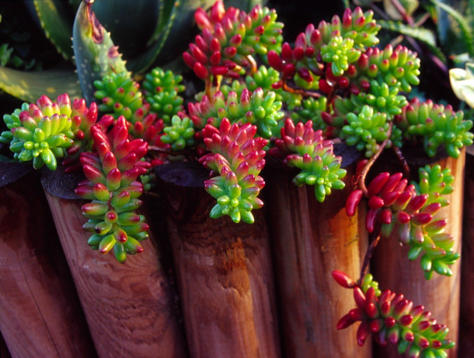 very pretty green and rich cherry red club shaped succulent leaves