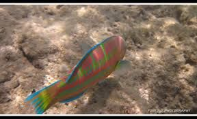 christmas wrasse - Google Search