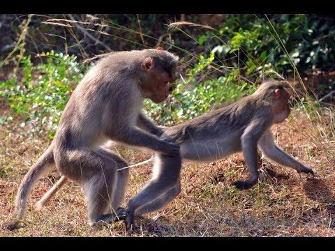 Real Funny Monkey Mating - So FANTASTIC !! - http://positivelifemagazine.com/real-funny-monkey-mating-so-fantastic/ http://img.youtube.com/vi/sG0YzcpJ6F8/0.jpg  Real Funny Monkey Mating – So FANTASTIC !!, Real Funny Monkey Mating – So FANTASTIC !!, Mostl Funny Monkey Mating – PRANKS !! Real Funny Monkey … ***Get your free domain and free site builder*** [matched_content] ***Get your free domain and free site builder*** Please follow and like us: