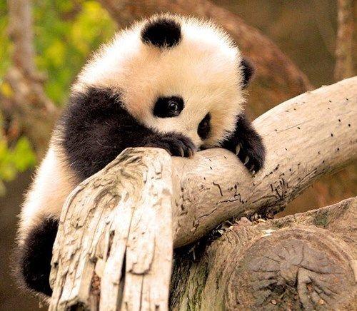 Shy Baby Panda Squee Tiere Susse Tiere Tierbabys