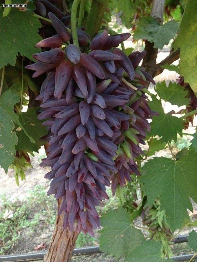 "Grape /""LADY/'S FINGERS/"" WHITE grape 3 cuttings//VINES for propagation"