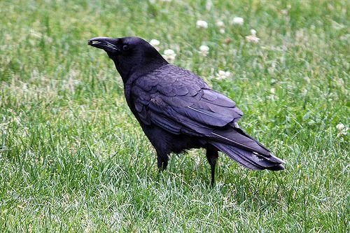 Crow With Tidbit In Beak