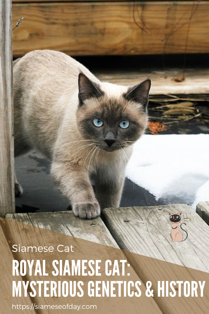 Royal Siamese Cat Mysterious & History Cats
