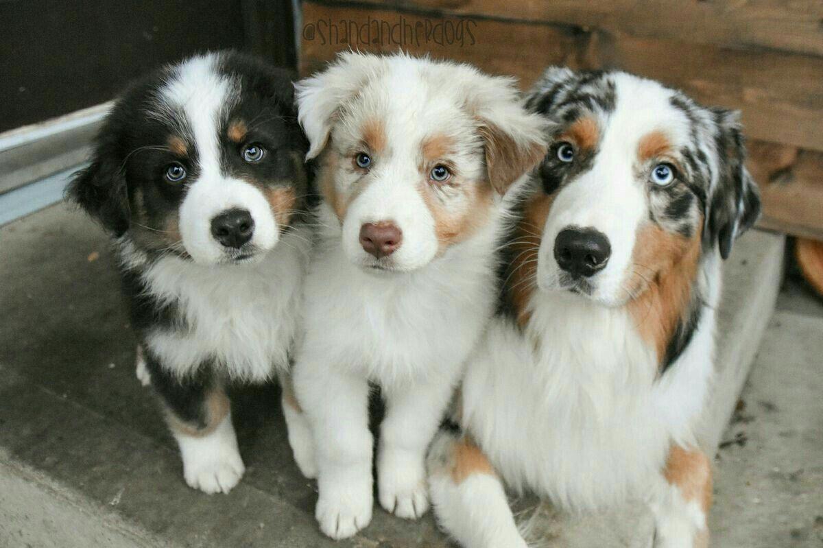 Avustralya Coban Kopegi Australian Shepherd Dog Sevimli Hayvan Yavrulari Hayvan Bebekler Avustralya Coban Kopegi