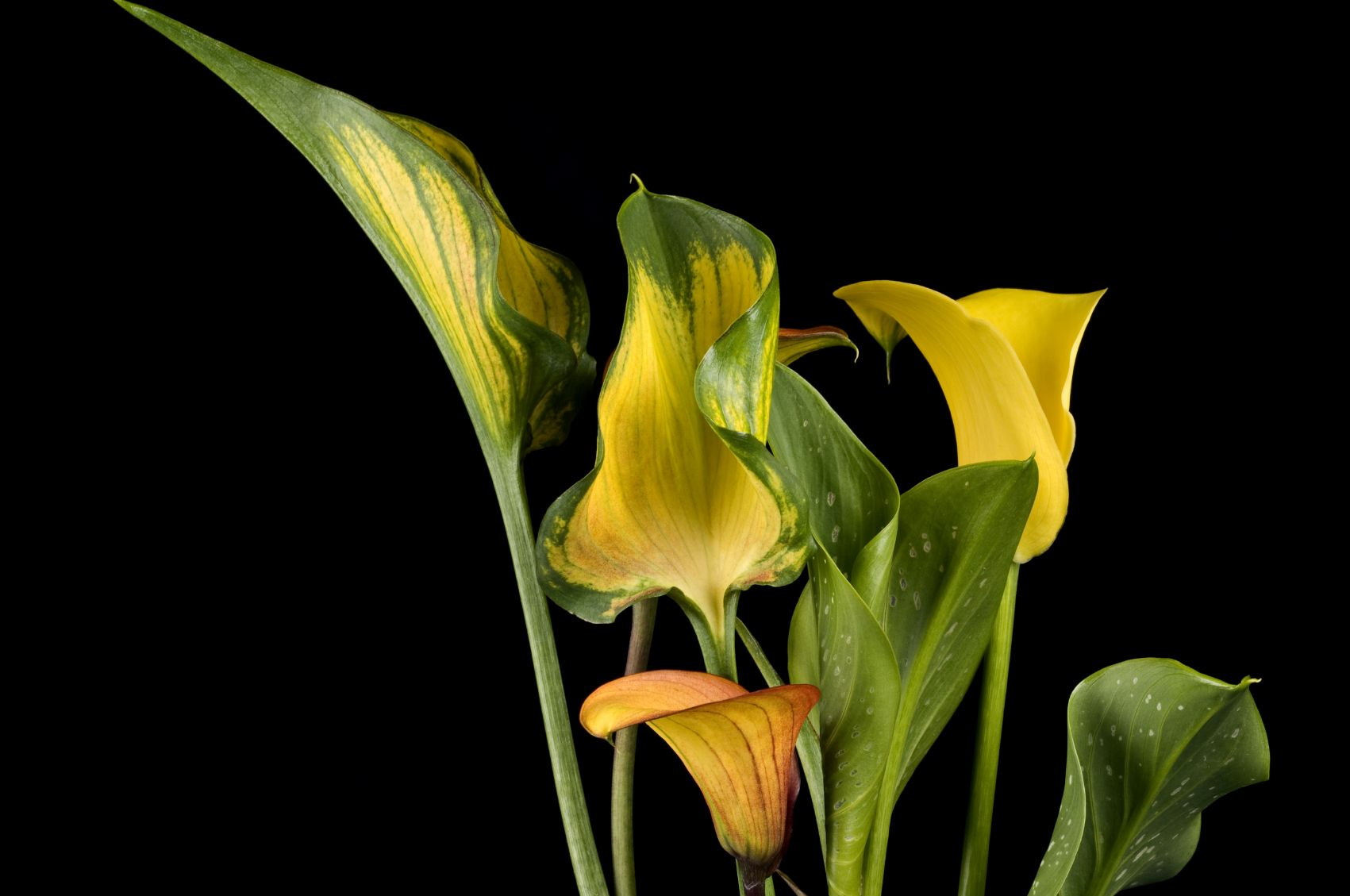 Help For Yellowing Calla Lilies Why Calla Lily Leaves Turn Yellow Lily Plants Calla Lily Calla