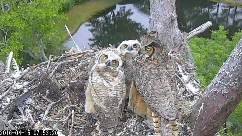 Great Horned Owls  4/15/16