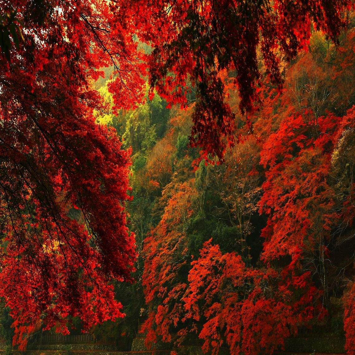 RED AUTUMN FOREST HD