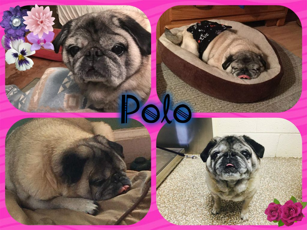 Pug dog for Adoption in Walled Lake , MI. ADN527254 on