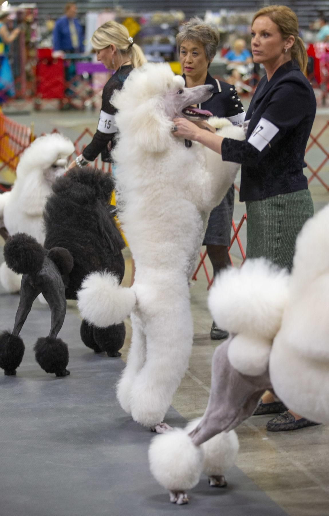 Photos Carolina Cluster Dog Show in Greensboro (With
