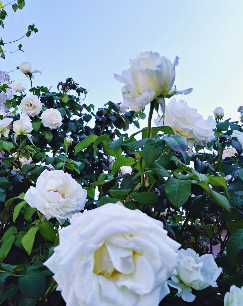 Des Roses Blanches ورود بيضاء Tagemagazine مجلة تاج Roses Blanches Rose Blanc