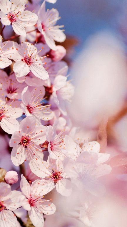 Iphone 6 Cherry Blossom Wallpaper Cherry Blossom Wallpaper Spring Wallpaper Flower Wallpaper