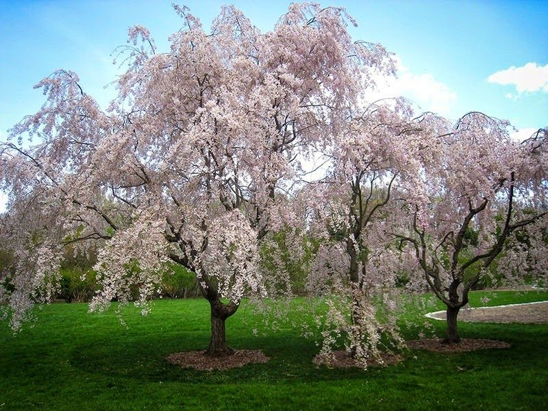 How To Prune A Weeping Cherry Tree Weeping Cherry Tree Flowering Cherry Tree Tree Seeds