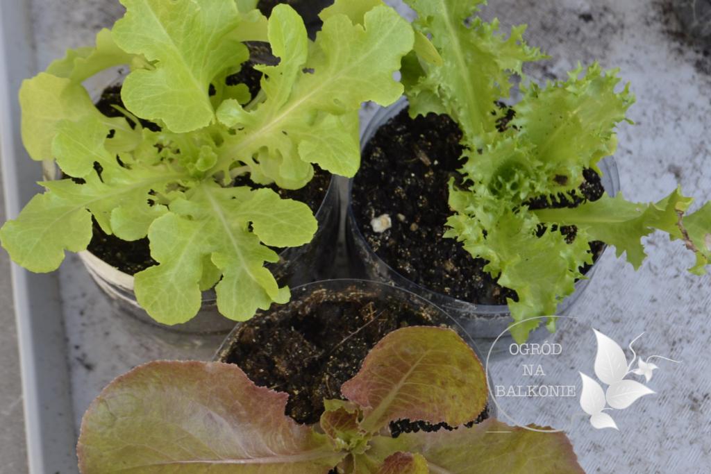 Ogrodek Na Balkonie W Lipcu Ogrod Na Balkonie Herbs Vegetables Cabbage