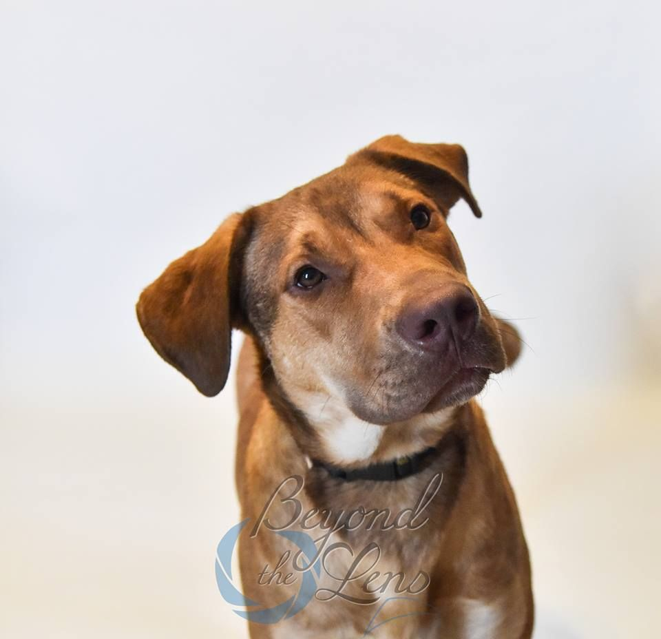 Labrottie dog for Adoption in Oxford, MI. ADN457194 on