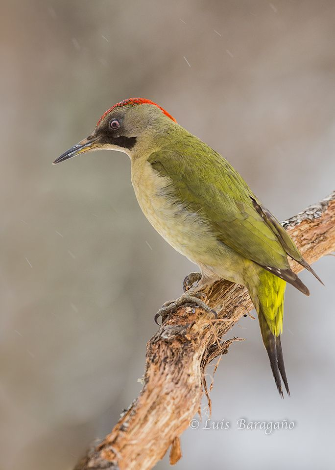 Hembra de Pito real bajo la lluvia by Luis Baragaño-500px ○ canon 5D, f/f 8, 1/400s, 500mm, iso1250, 684-960 px, rating:98.5