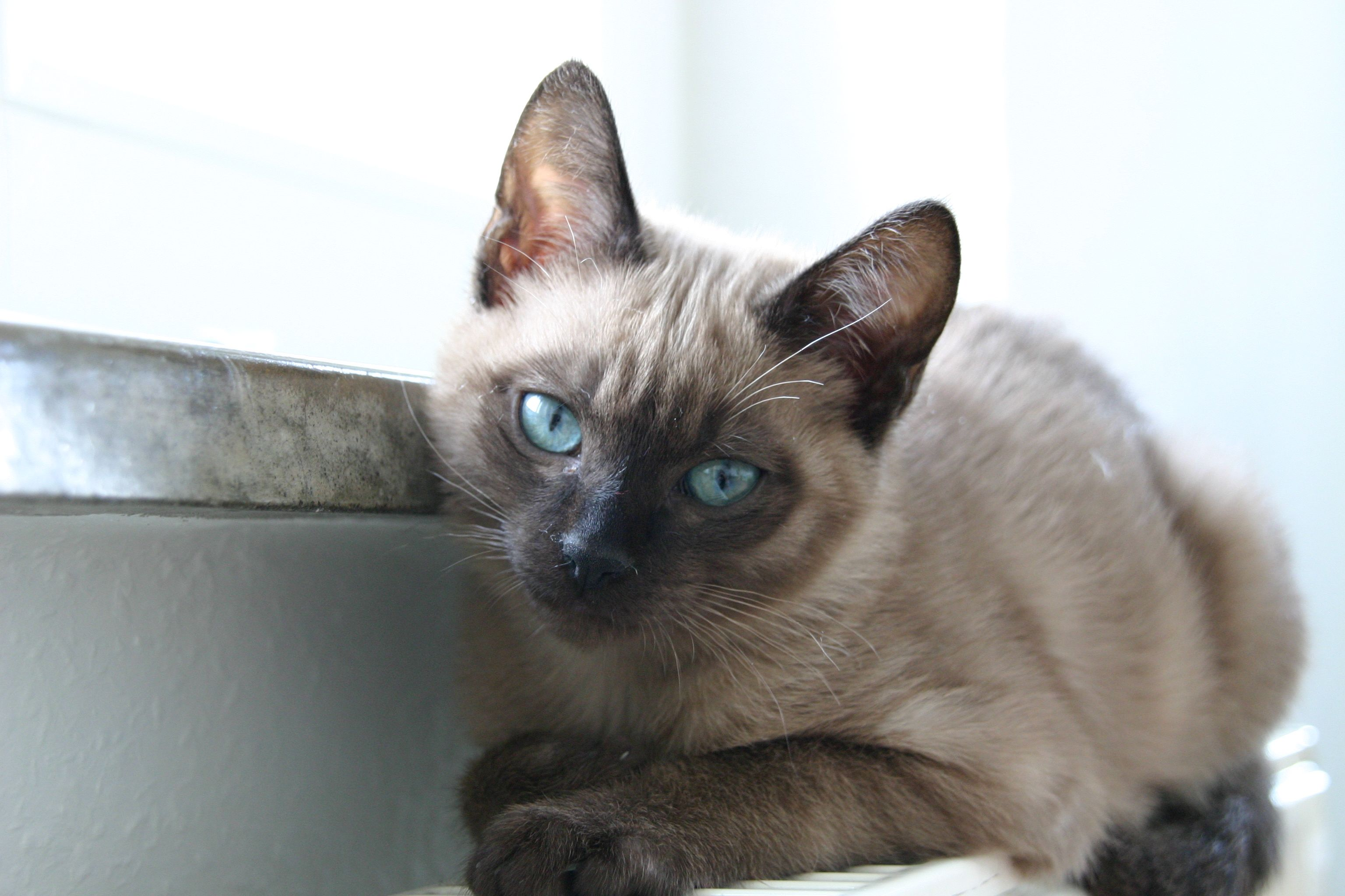 Young Tonkanese Cat Tonkinese Cat Kittens And Puppies Crazy Cats