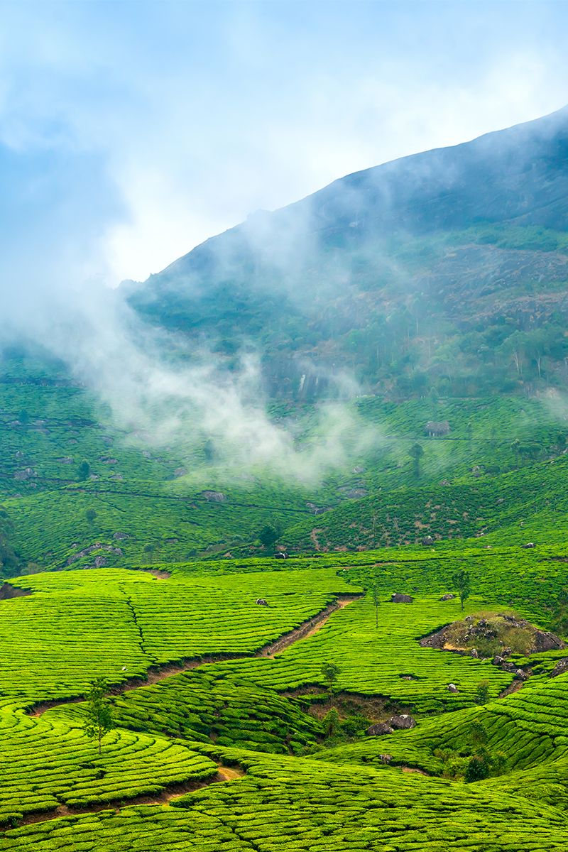 Tea plantations in Cochin check out our Golden Triangle
