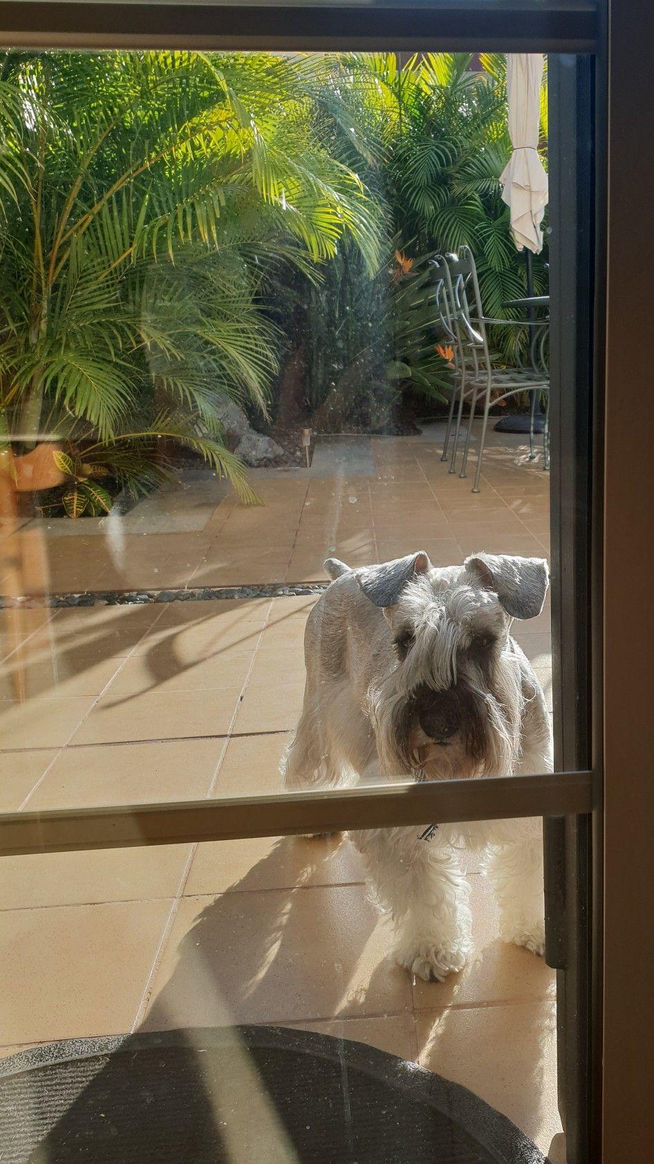 Let Me In Please Pets Dog Cat Schnauzer