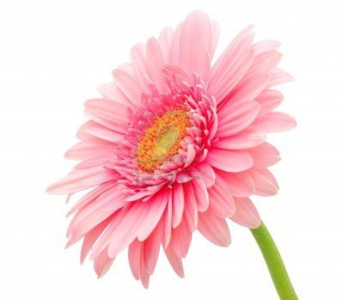 Pink Gerbera Daisy Arts And Crafts Pinterest Gerbera Daisy