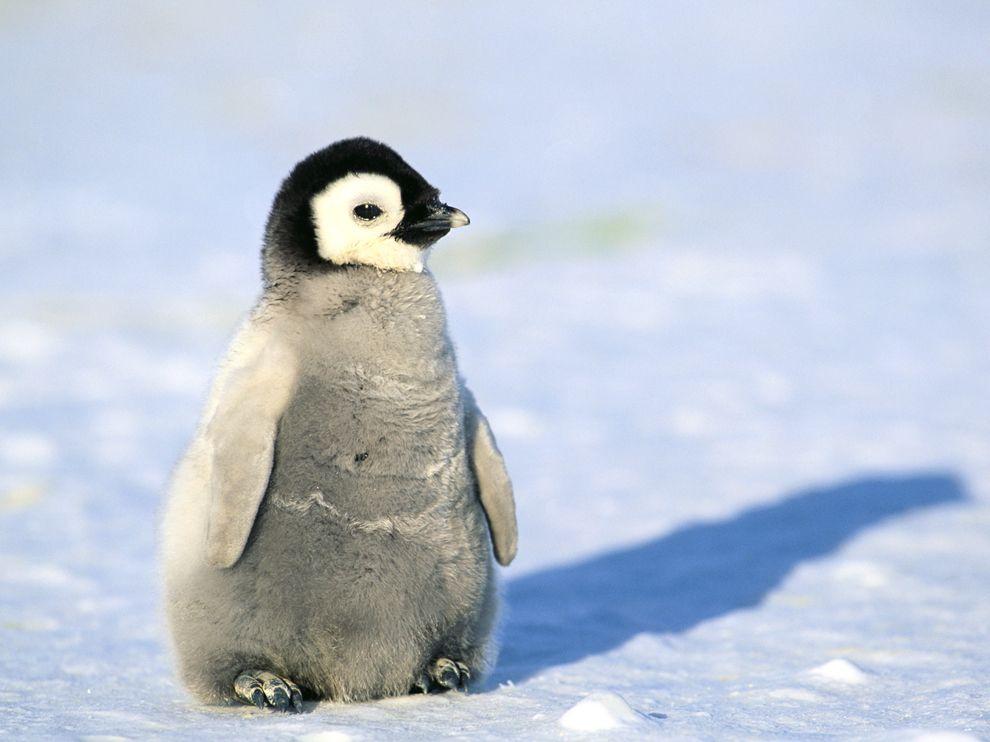 Cutest baby penguin