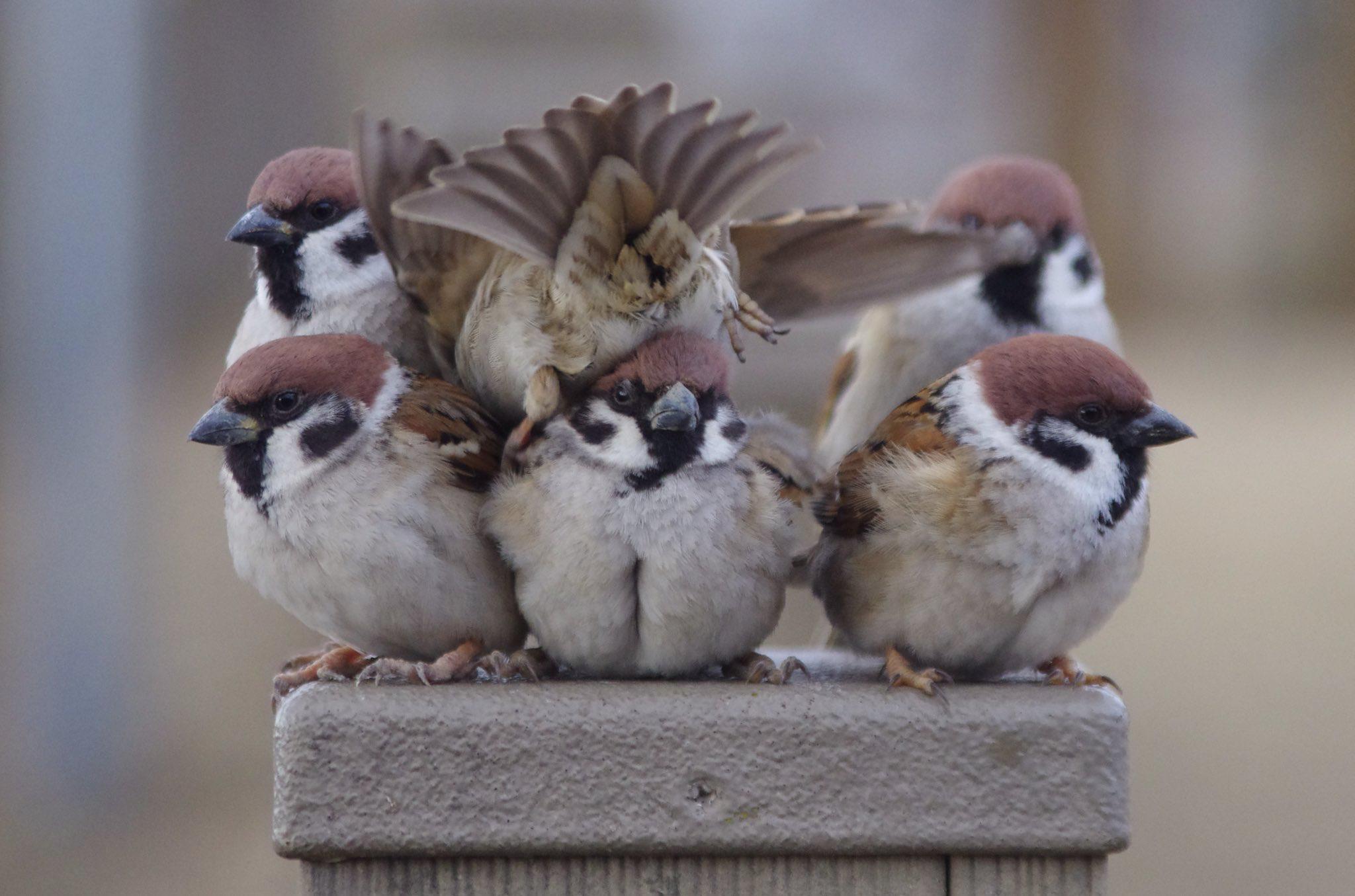 Sparrows...there's always 0ne... Beautiful birds, Birds
