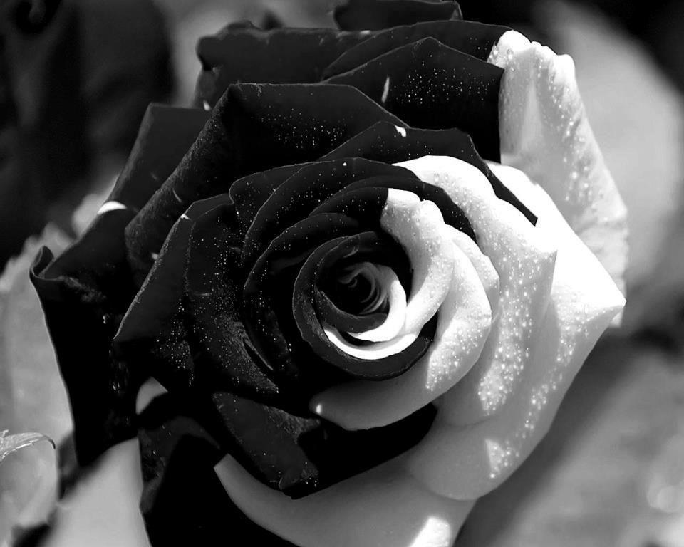 ненавязчиво цветные фотографии с белыми и черными розами кто желает оттаскать