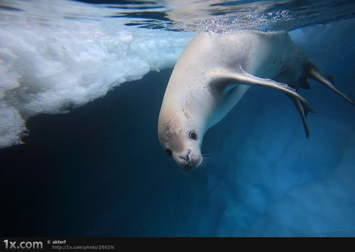 Catch me if you can - Crabeater seals (Lobodon carcinophagus) (© akterf)