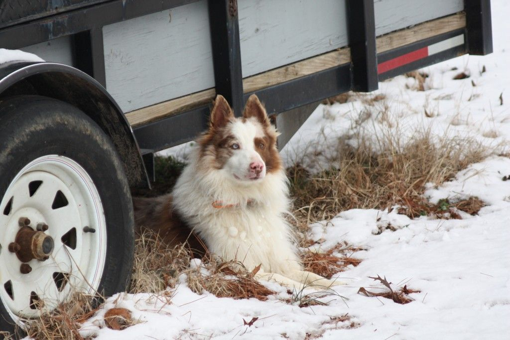 Gus C C Ranch Border Collies For Sale In Alabama With Images