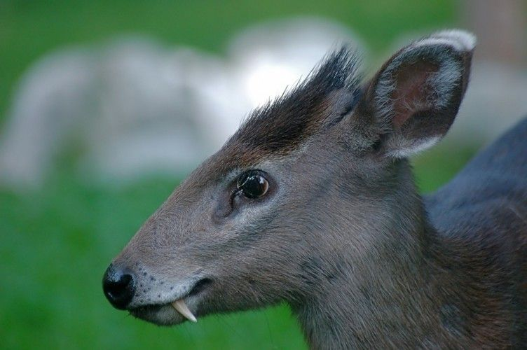 Tufted Deer - Google Search