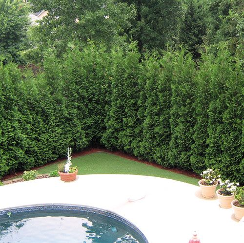 american pillar thuja evergreen tree  for along the back fence as a privacy screen